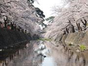 さくら 夙川公園