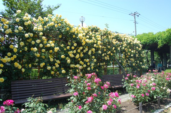 2.黄色いバラのアーチ DSC_7269