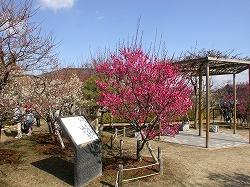 Koto Plum Orchard