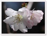 新種の桜、夙川舞桜