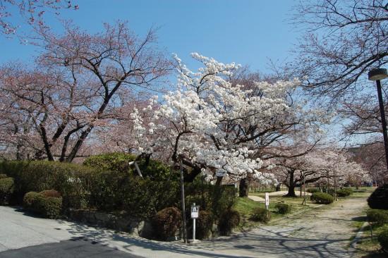 2.越水早咲き桜 DSC_3880
