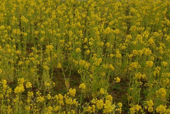 1.菜の花 DSC_2190