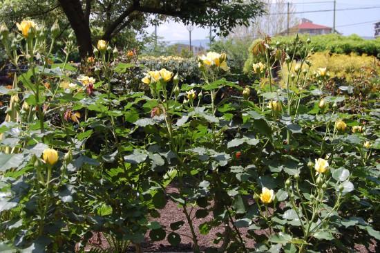 4.黄色のバラ DSC_6965