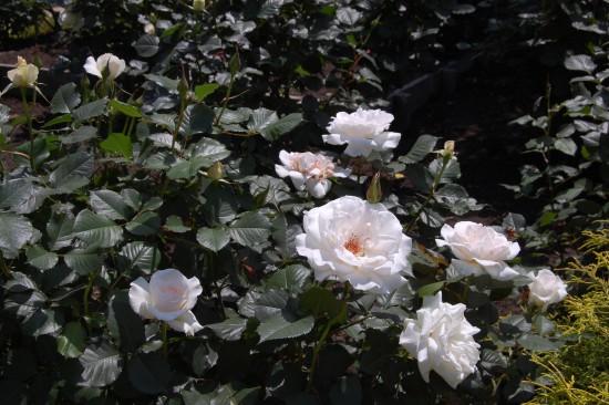 3.白いバラ DSC_6963